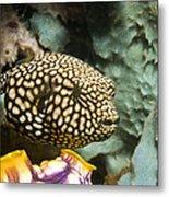 Juvenile Map Pufferfish Metal Print