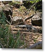 Juvenile Nile Crocodile Metal Print