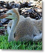 Juvenile Sandhill Crane At Rest Metal Print