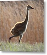 Juvenile Sandhill In The Marsh Metal Print