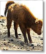 Juvenile Scottish Highlander Cattle Metal Print