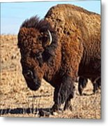 Kansas Buffalo Metal Print