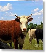 Kansas Country Cow's With Blue Sky And Grass Metal Print
