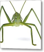 Katydid Silaka Nature Reserve South Metal Print