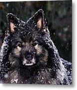 Keeshond Dog, Winnipeg, Manitoba Metal Print