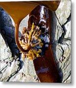 Kelp Holdfast (laminaria Digitata) Metal Print by Dr Keith Wheeler