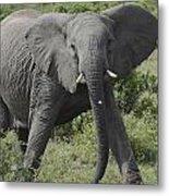Kenya Masai Mara Charging Elephant  Metal Print