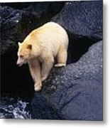 Kermode Bear On Boulder Hunting Salmon Metal Print