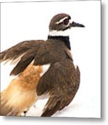 Killdeer - Show Off In The Spring Snow  Metal Print