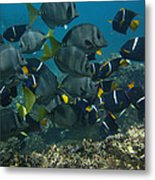 King Angelfish Holacanthus Passer Metal Print by Pete Oxford