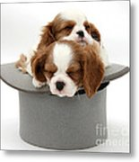 King Charles Spaniel Puppies Metal Print