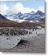 King Penguin Breeding Colony Metal Print