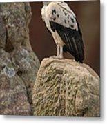 King Vulture Sarcoramphus Papa Perched Metal Print by Pete Oxford