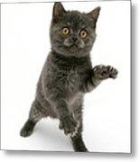 Kitten Reaching Metal Print