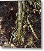 Knotted Wrack (ascophyllum Nodosum) Metal Print