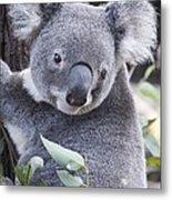 Koala In Tree Metal Print