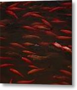 Koi Fish In China Metal Print