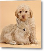 Labradoodle Puppy With Rabbit Metal Print