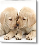 Labrador Retriever Puppies Metal Print