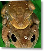 Lacelid Frog Nyctimystes Dayi Pair Metal Print