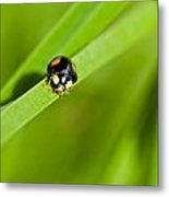Ladybug With Black-brown And Red Color Metal Print