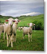Lambs In Wyoming Metal Print by Danielle D. Hughson