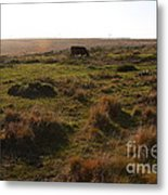 Landscape With Cow Grazing In The Field . 7d9935 Metal Print by Wingsdomain Art and Photography