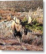 Large Bull Moose Metal Print