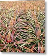 Large Field With Pineapples Metal Print
