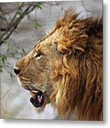 Large Male Lion Profile Portrait Metal Print