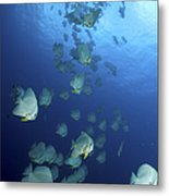 Large School Of Batfish, Christmas Metal Print