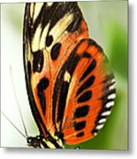 Large Tiger Butterfly Metal Print