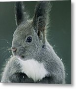 Large Tufted Ears Grace An Metal Print