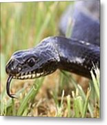 Large Whipsnake (coluber Jugularis) Metal Print by Photostock-israel