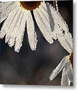 Late Blooming Marguerite Flowers Metal Print