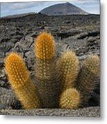 Lava Cactus Brachycereus Nesioticus Metal Print