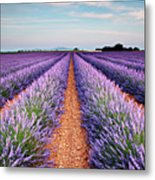 Lavender Field In Blossom Metal Print