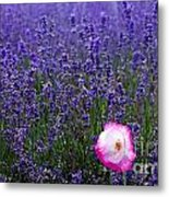 Lavender Field With Poppy Metal Print