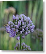 Lavender Flowering Onion Metal Print