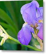 Lavender Iris On Green Metal Print