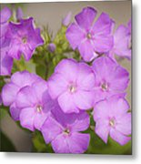 Lavender Phlox Metal Print