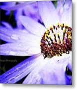 Lavender Senetti Metal Print by Lessie Heape