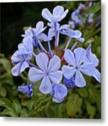 Leadwort Metal Print