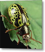 Leaf Beetle Calligrapha Sp Portrait Metal Print