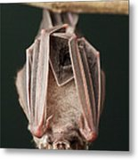 Leaf-nosed Bat Phyllostomidae, Amazon Metal Print