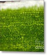 Leaf Stomata, Lm Metal Print