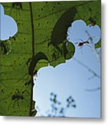 Leafcutter Ant Atta Columbica Workers Metal Print