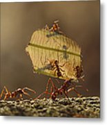 Leafcutter Ant Atta Sp Group Carrying Metal Print