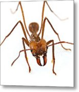 Leafcutter Ant Worker Costa Rica Metal Print