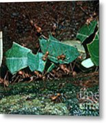 Leafcutter Ants Metal Print